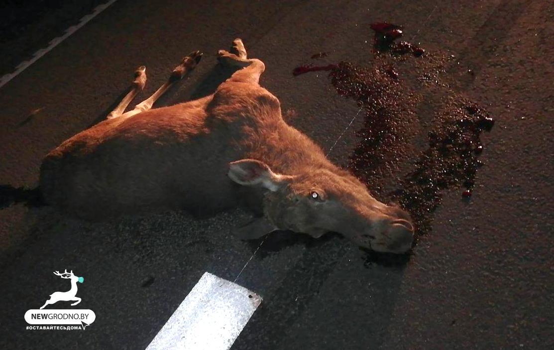 Сетка на трассе М6 не спасает от аварий с дикими животными