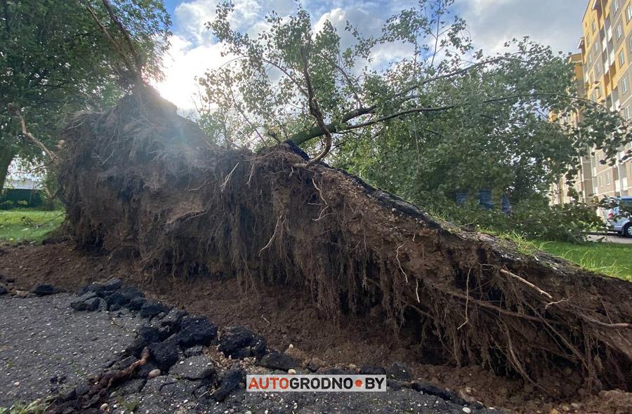 На автомобили в Гродно упало дерево 24 сентября 2021